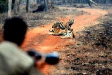 Keystone Species Bengal Tigers
