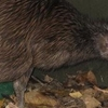 Tahi Kiwi, Wellington Zoo