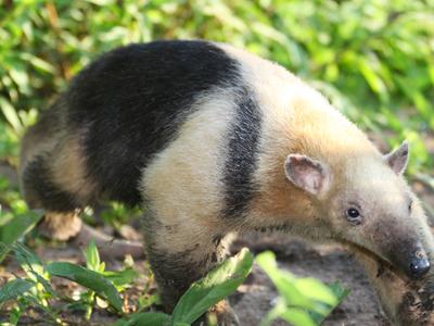 Tamandua Pantanal