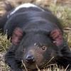 Although Tasmanian Devils Are Nocturnal