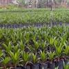 Tawau Oil Palm Nursery
