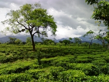 Tea Gardens At Dooars
