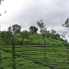 Tea Plantation Estate Near Kalpetta