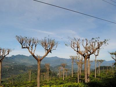 Tea Plantations Near Badulla - Sri Lanka