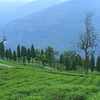 Temi Tea Gardens In Ravangla