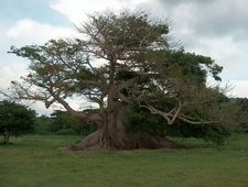 The 3 0 0 Year Old Ceiba Tree 2 C Vieques 2 C Puerto Ric