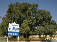 The Bodhi Tree At Deekshabhoomi