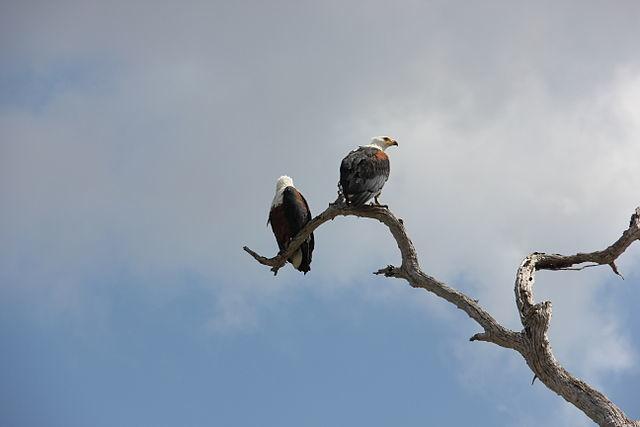 Uganda Birding Safari Classic (22 days) Photos