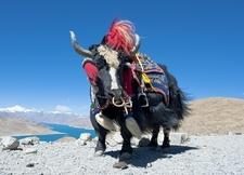 Tibetan Yak On Mountain Top