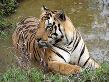 The Majestic Indian Tiger At Kanha