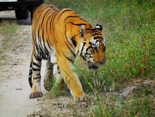 Tiger At Kanha National Park