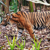Sumatran Tiger At The Melbourne Zoo