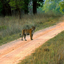 Tiger Sighting At Kanha
