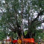 Ton Pho Banyan Tree