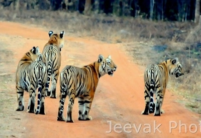 Trails In Tadoba Tiger Reserve