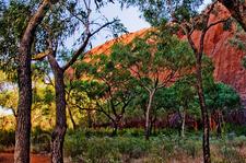 Trees At Uluru