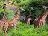 Tsavo Giraffes