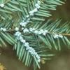 Eastern Hemlock Foliage And Cone