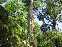 The Senator Tree
