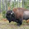 View Bison - Yellowstone NP