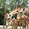 View Giraffe Family In Kuala Lumpur Zoo Negara