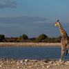 View Giraffe In Etosha National Park