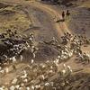View Grazing Livestock - Chuy Kyrgyzstan
