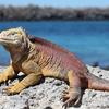 View Iguana At South Plaza Island In Galapagos