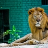 View Lion At Zoo Negara