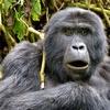 View Mountain Gorilla @ Bwindi UG