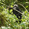 View Oruzogo Mountain Gorilla & Bwindi Forest UG