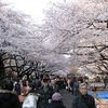 Visitors Enjoying The Cherry Blossoms