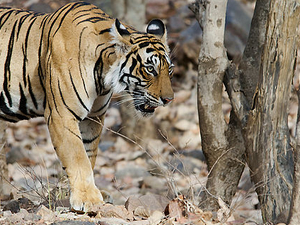 Fetch The Tiger Marks - Corbett Tour