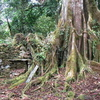 Vilcabamba Tree