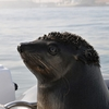 Walvis Bay Seal - Namibia