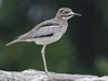 Water Thick-Knee @ Queen Elizabeth Park UG