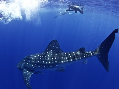 Whale Shark In Utilas Bay Islands