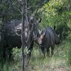 White Rhino In Matopos National Park