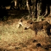 Wild Boar At Ranthambore NP