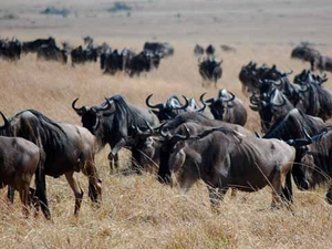 Animal Traffic in Maasai Mara