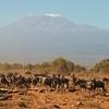 Wildebeests Fronting Kilimanjaro - Tanzania