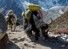 Yak Caravan Near Everest Region