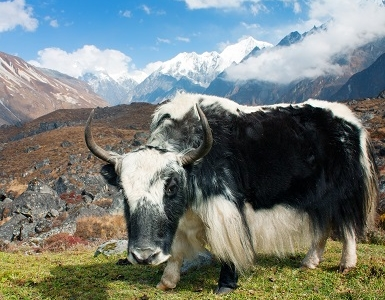 Yak In Langtang Valley