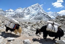 Yaks Approaching Everest Base Camp