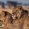 Young Lions At Serengeti NP Tanzania