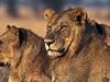 Young Lions At Serengeti NP Tanzania