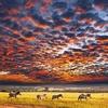 Zebras At Serengeti NP Tanzania