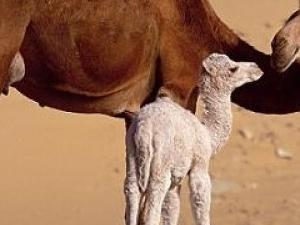 Camel Markt in cairo Photos