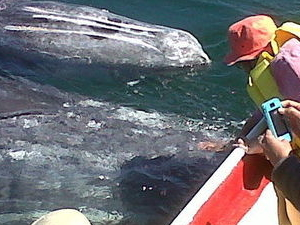 Majestic Whale Watching Adventure from Los Cabos Photos