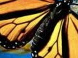 Monarch butterflies Photos